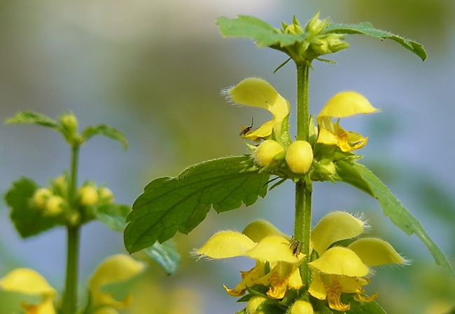 Яснотка - растение влаголюбивое, хотя и на солнце чувствует себя хорошо на плодородной слегка суглинистой почве