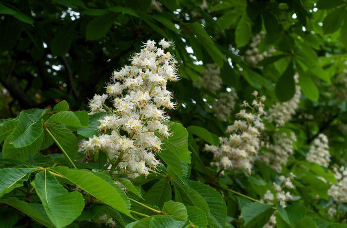 Конский каштан хорошо переносит неблагоприятные условия, поэтому его традиционно культивируют жители средней полосы России, а также растёт дерево на Кавказе