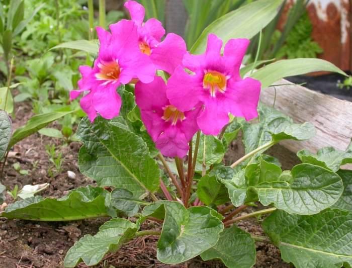 Садовая глоксиния нетребовательна к уходу