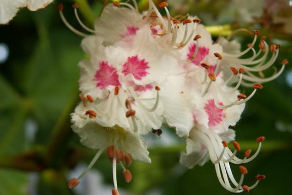 Розовый цветок целебного растения богат натуральными флавоноидами, дубильными соединениями, слизью, гликозидами, пектином