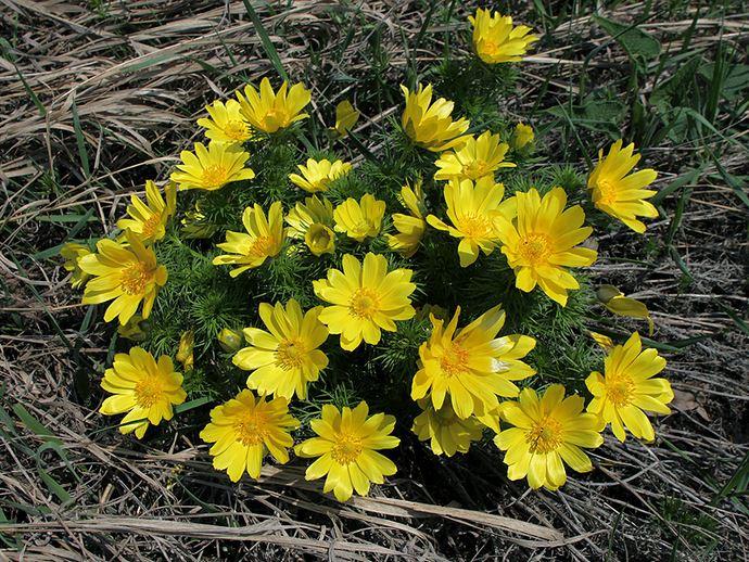 Адонис весенний зацветает рано весной