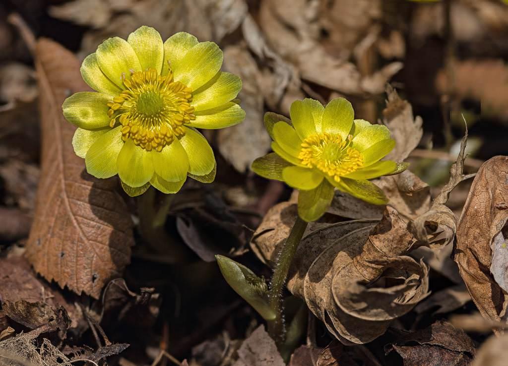 Горицвет амурский (Adonis amurensis)