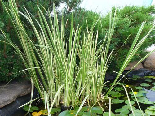 Аир обыкновенный, или болотный, является известным лекарственным растением