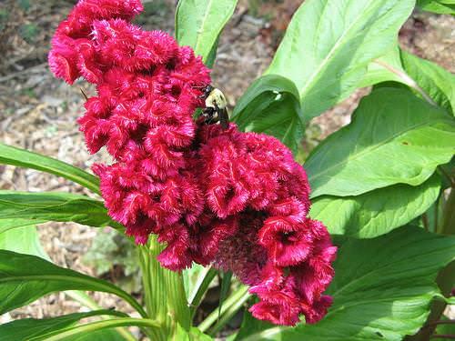 Растение Амарант – род травянистых однолетников, относящихся к семейству Амарантовых