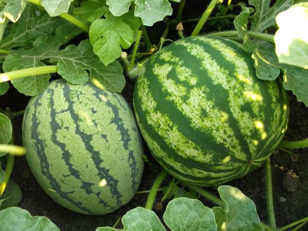 Чтобы получить хороший урожай, следует подбирать сорта, районированные для конкретного региона нашей страны