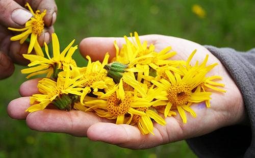 Цветки арники горной способствуют эффективному понижению рефлекторной возбудимости мозга и расширению сосудов