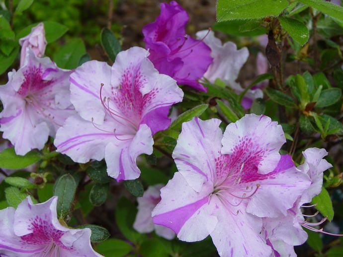 Удобрять Азалию необходимо во время появления первых цветков и до самого конца цветения