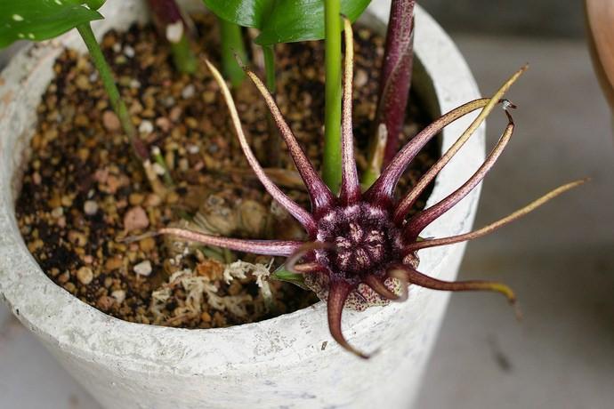 Аспидистра крупноцветковая (A. Grandiflora)