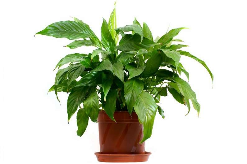 Аспидистра обланцефолиа (A. oblanceifolia)