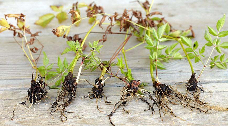 Разводить Астильбу в домашней обстановке достаточно просто вегетативным способом