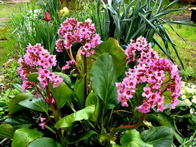 Бадан толстолистный относится к роду Бадан и семейству Камнеломковые, является теневыносливым и легко переносит кислые торфяные грунты