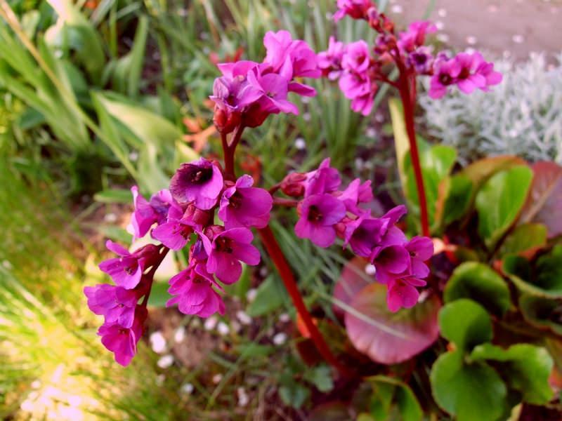 Баданы славятся яркими и очень красивыми соцветиями, представленными достаточно мелкими бокаловидными цветками, расположенными на безлистных цветоносах