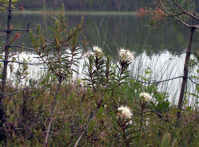 Багульник болотный в народе часто называется просто болотник, гушатник, болотная одурь и так далее