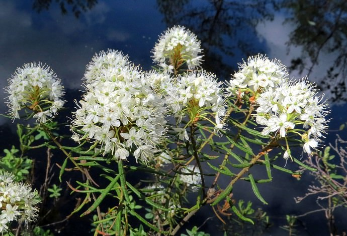 Во всех частях багульника болотного присутствует эфирное масло, отличающееся специфичным, ярко выраженным и неприятным запахом