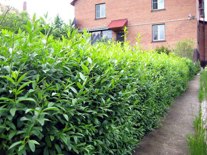 Бирючина обыкновенная – это выносливый и очень высокий кустарник, относящийся к листопадным