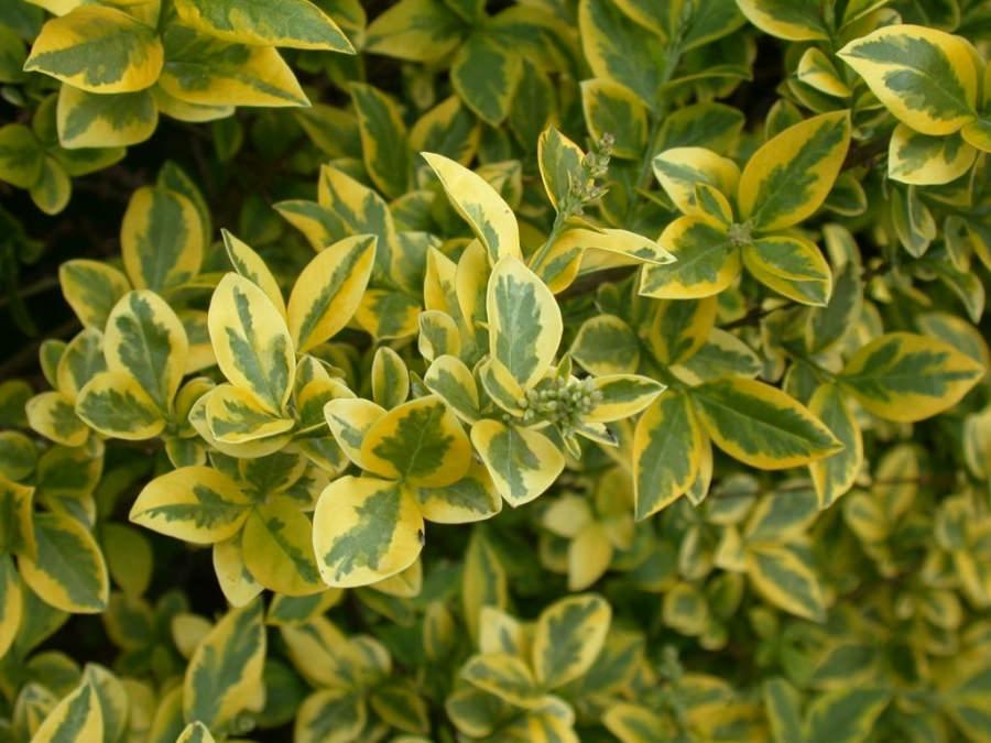 Желтолистная бирючина имеет потрясающую листву золотистого цвета.