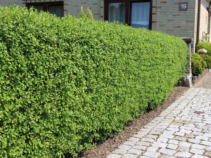 Европейский способ выращивания бирючины – живые изгороди и бордюры строгих форм