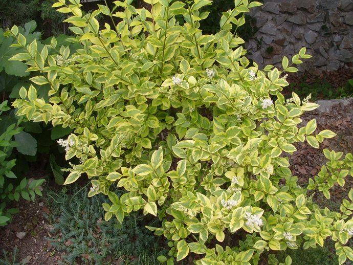 Пестролистый вид бирючины богат своими листьями, имеющими нежную окантовку белого цвета с кремовым оттенком