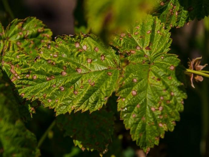 Белая пятнистость поражает листья малины, на которых появляются темные пятна, осветляющиеся в середине