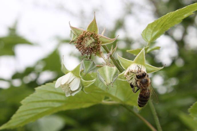 Цветущую малину опрыскивают 0,01% раствором борной кислоты