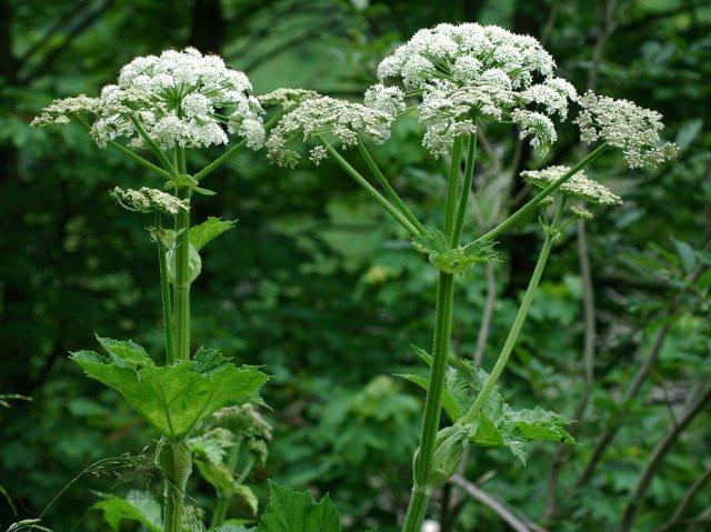 Цветёт борщевик в июне и июле