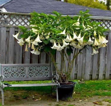 Выращивание бругмансии – сложный и увлекательный процесс