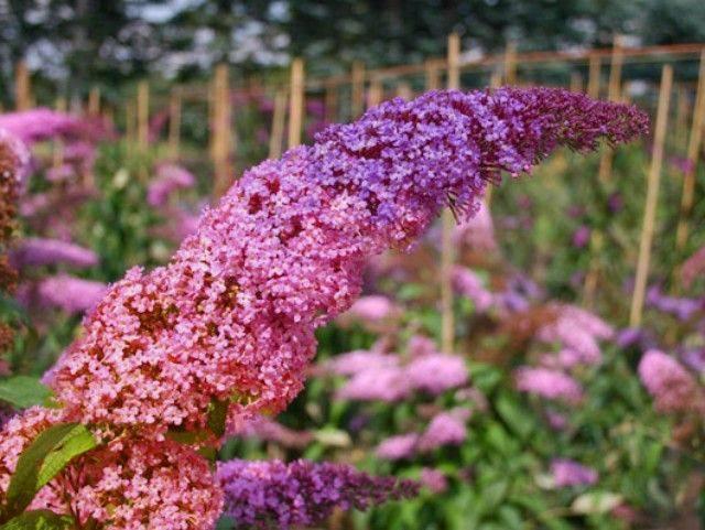 Буддлея Флауэр Пауэр (Flower Power)