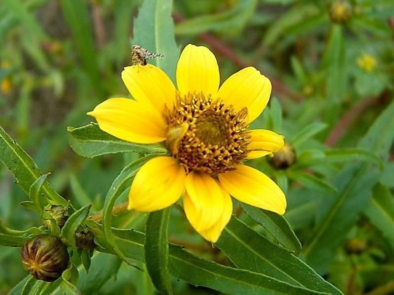Череда трехраздельная – травянистое растение, семейство астровые