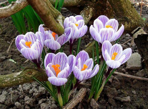 Крокусы открывают сезон цветения