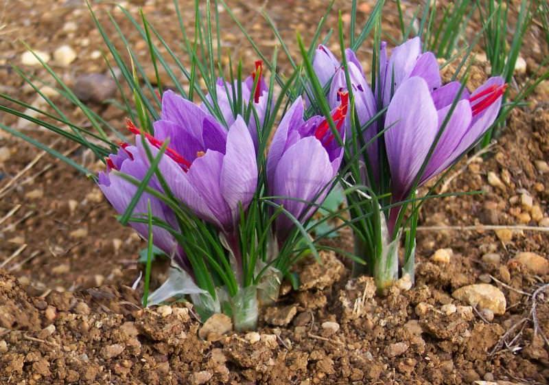 Основной уход за посадками крокусов в саду заключается в весеннем рыхлении почвы и удалении сорняков