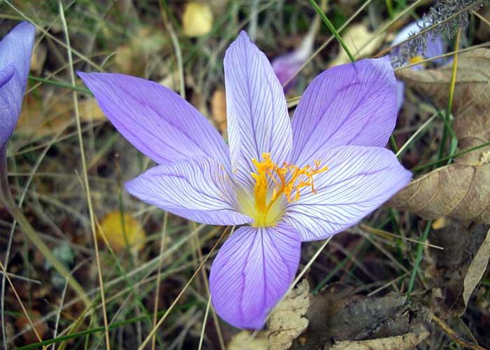 Из осеннецветущих видов в декоративном цветоводстве наиболее распространен шафран прекрасный