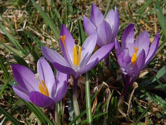 Крокус весенний – многолетняя травянистая культура из семейства Касатиковые