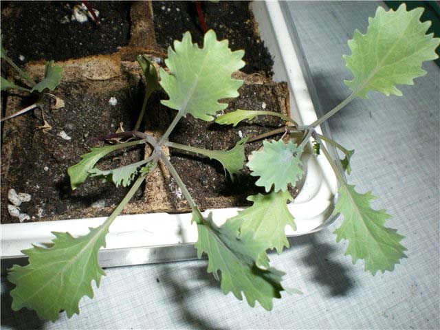 Начинающим садоводам рекомендуется выращивать декоративную капусту рассадным способом