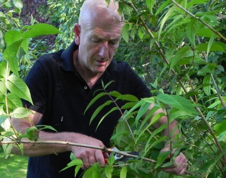 Обрезку дейции проводят после цветения или в период покоя