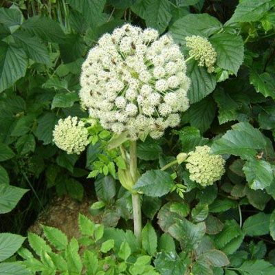 Дудник — относится к роду травянистых растений и семейству Зонтичные