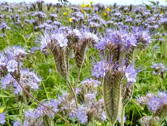 Фацелия – растение, свойства которого позволят ему выдерживать холода до – 7 градусов