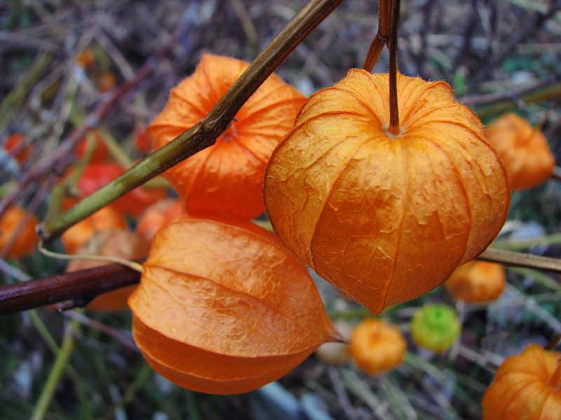 На ягодном физалисе плоды растут не крупных размеров
