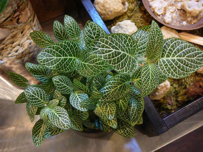 Фиттония Вершаффельта - теплолюбивое и влаголюбивое растение
