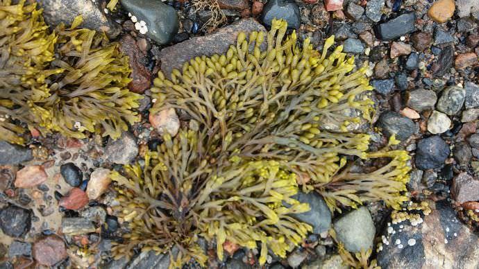 Фукус пузырчатый относится к числу морских водорослей