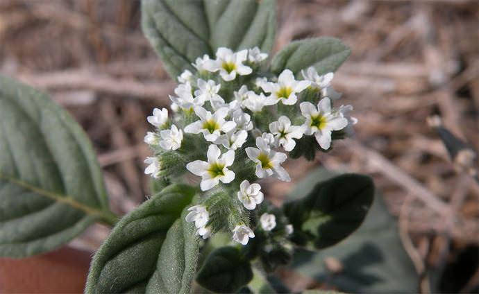 Европейский гелиотроп (Heliotropium europaeum)