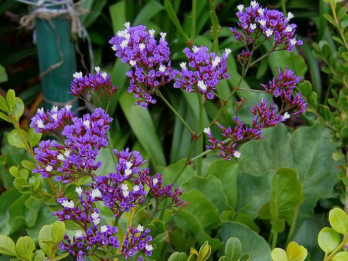 Гибридный гелиотроп (Heliotropium hybridum)