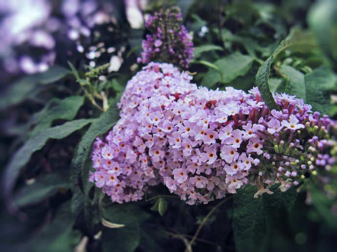 Гелиотроп является растением, любящим тепло, поэтому в теплое время года его выращивают при температуре воздуха от двадцати двух до двадцати пяти градусов