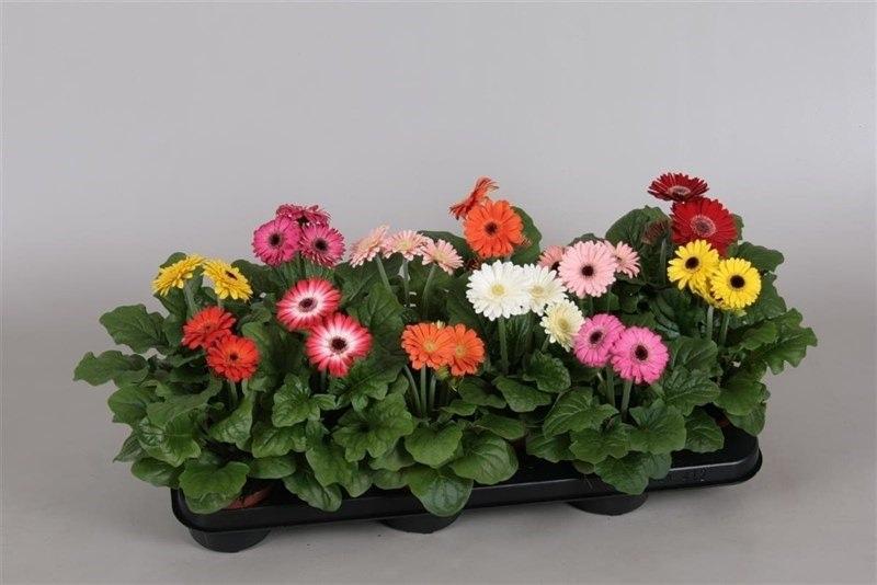 Особенно широкое распространение домашний цветок гербера Микс