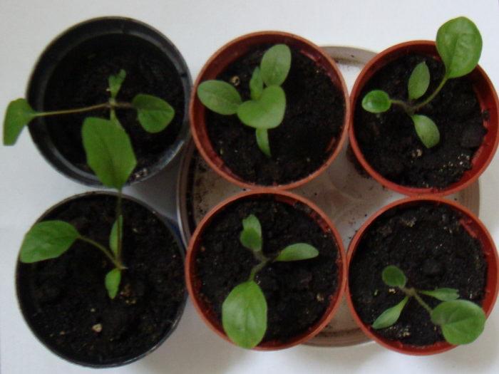 Семенное размножение герберы осуществляется в весенний период