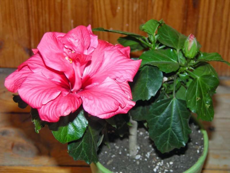 Самым распространенным является цветок ярко-рубинового цвета