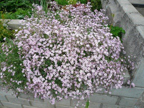 Гипсофила является травянистым многолетним растением, относящимся к гвоздичным