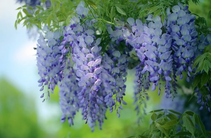 Цветы глициния относятся к семейству бобовых