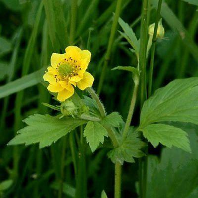 Гравилат городской – лечебное растение, распространенное на территории России