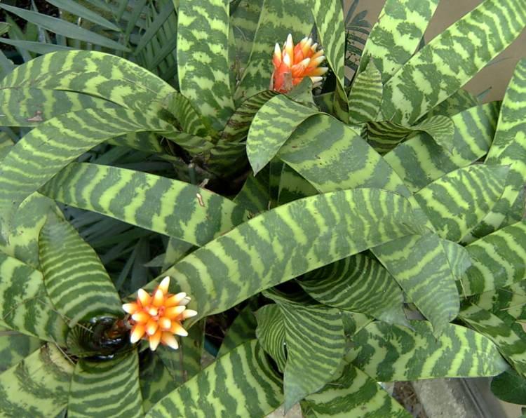 Гузмания мозаичная (Guzmania musaica)