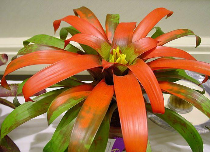 Гузмания кроваво-красная (Guzmania sanguinea)
